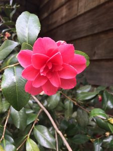 Photo of bright pink flower in full blossom