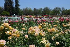field of yellow and pink roses with small fountain in background